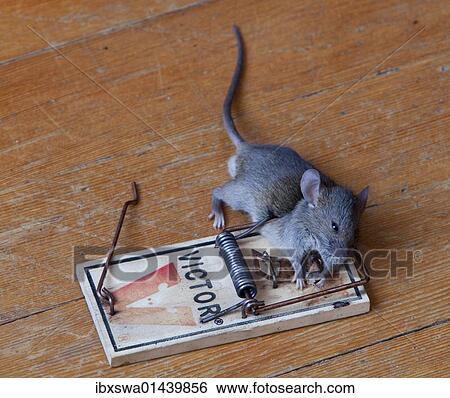 banque d 39 images common maison souris mus musculus dans pi ge mort caught. Black Bedroom Furniture Sets. Home Design Ideas