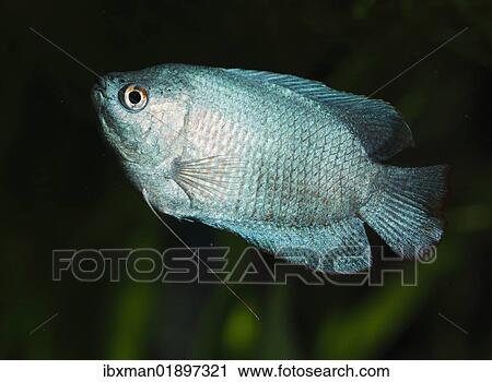 Dwarf Gourami Colisa Lalia Male Neon Blue Cultivated Form Freshwater Aquarium Fish Native To India Stock Photography
