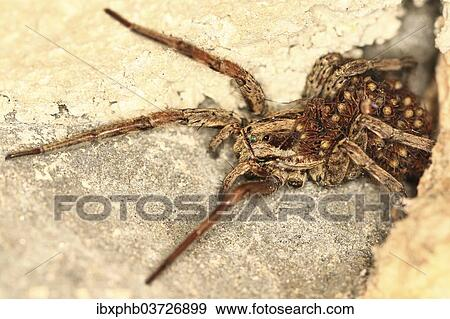 European Wolf Spider Or False Tarantula Hogna Radiata With