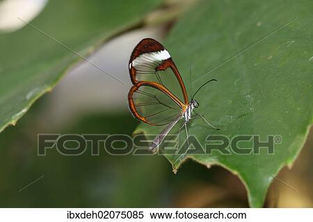 Stock Image Of Glasswinged Butterfly Greta Oto Found In South