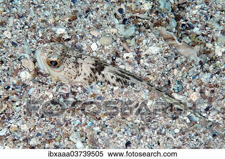 Trachinus draco