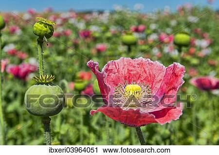 Stock photography of opium poppy papaver somniferum flower and opium poppy papaver somniferum flower and flower buds mightylinksfo