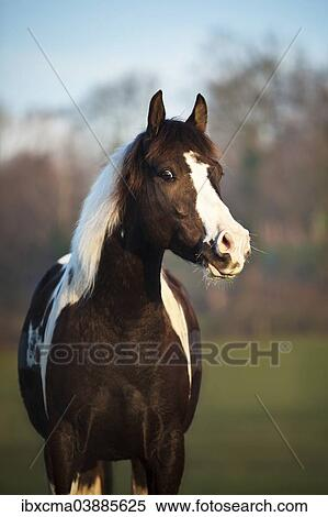 Paint Horse Brown Tobiano Gelding