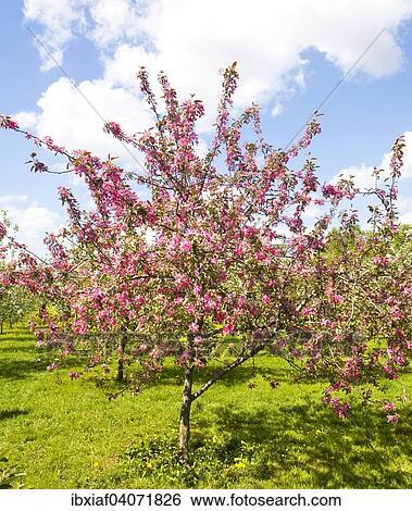 Pink Japanese Cherry Trees In Blossom Kolomenskoye Park Moscow