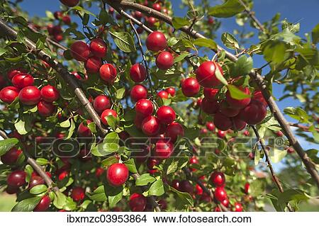Ripe Cherry Plums Or Myrobalan Plums Prunus Cerasifera On A Tree