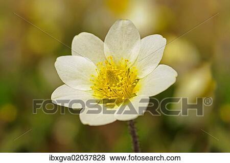 Pictures Of White Mountain Avens Or White Dryas Dryas Octopetala