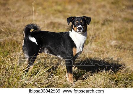 Appenzeller Sennenhund Young Dog North Tyrol Austria
