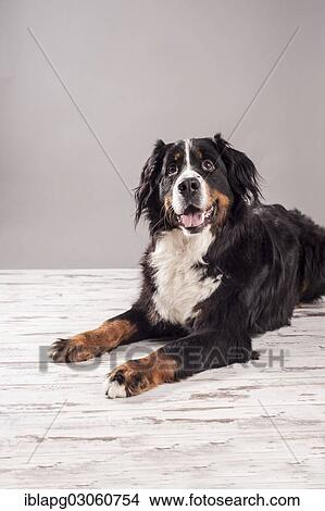 Spiksplinternieuw bernese, berg hond, liggende, down
