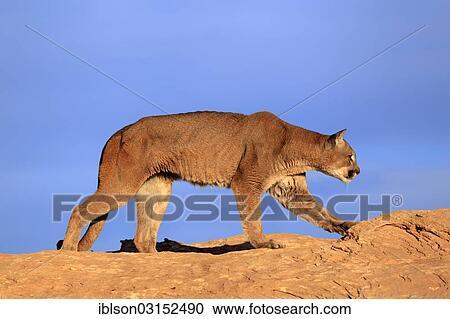 recherche cougars