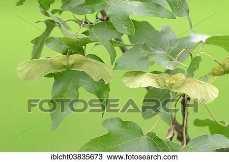 Stock Photo Of Field Maple Acer Campestre Leaves And Fruit