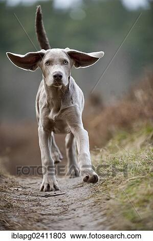 Galloping Weimaraner Puppy Stock Image