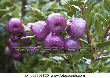 Gaultheria Pernettya.Gaultheria Mucronata Gaultheria Mucronata Syn Pernettya Mucronata Close Up Of Berries Torres Del Paine National Park Southern Patagonia Chile South America Stock Image Iblflp02203820 Fotosearch
