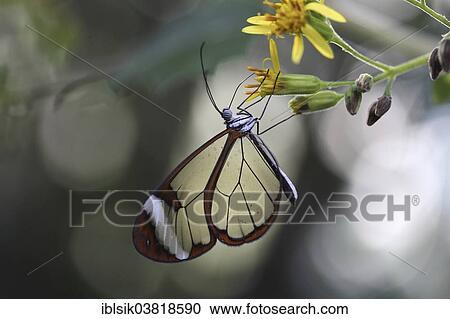 Glasswinged Butterfly Greta Oto Butterfly House Mainau Baden
