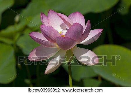 Stock Photo Of Indian Lotus Nelumbo Nucifera Flower Arboretum