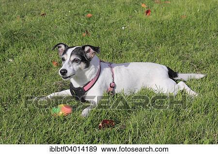 Hund, Jack Russel Terrier, Spielzeug, Wiese, Lüge