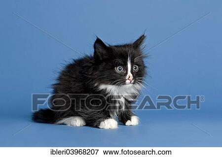 Norwegian Forest Cat Kitten 7 Weeks Black And White Stock Photo Ibleri03968207 Fotosearch