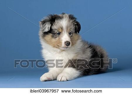Shetland Sheepdog Puppy 6 Weeks Blue