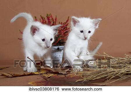 Two Balinese Kittens In An Autumnal Setting Stock Photograph