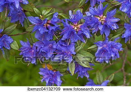 Azul Azalea Flores Azalea Baviera Alemania Europa Coleccion De Foto Ibxmzc04132709 Fotosearch