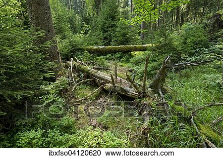 Dead Wood In Primeval Spruce Forest Norway Spruce Picea Abies Harz National Park Lower Saxony Germany Europe Stock Image