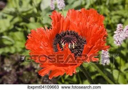 Stock Photo Of Poppy Flower Red Papaver Orientale Flamenco Dancer