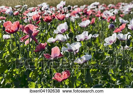 Pictures of field with flowering opium poppy papaver somniferum field with flowering opium poppy papaver somniferum lower austria austria europe mightylinksfo