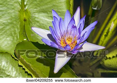 Stock image of lotus flower nelumbo mauritius africa lotus flower nelumbo mauritius africa mightylinksfo