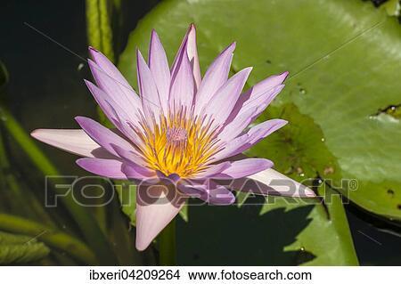 Stock photo of lotus flower nelumbo mauritius africa lotus flower nelumbo mauritius africa mightylinksfo