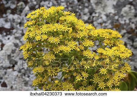 banque de photo orpin fleurs jaunes crassula plante aeonium vestitum gran canaria. Black Bedroom Furniture Sets. Home Design Ideas