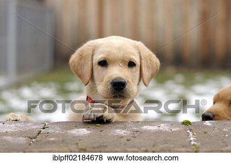 Blonde Labrador Retriever Puppy Looking