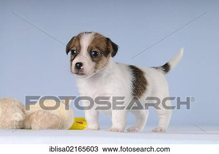 Jack Russell Terrier puppy, standing next to a plush toy Stock Image