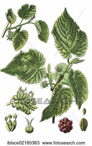 Archivio fotografico nero gelso morus nigra for Gelso pianta