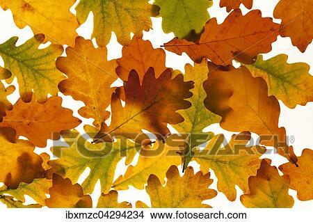 Stock Photo Of Herbstblatter Einer Stieleiche Quercus Robur