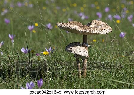 Stock Image Of Herbstwiese Mit Parasolpilzen Macrolepiota Procera