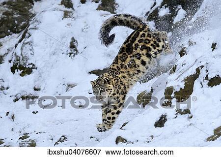 Picture Of Junger Schneeleopard Oder Irbis Panthera Uncia Springt