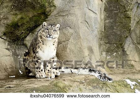 Stock Photograph Of Schneeleopard Oder Irbis Panthera Uncia Sitzt