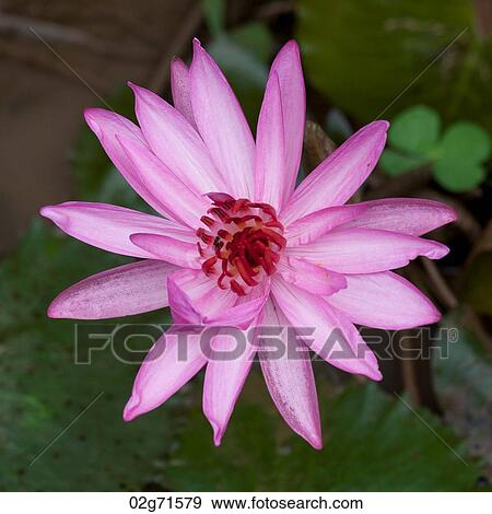 Close Up Of A Lotus Flower Thailand Stock Photo 02g71579 Fotosearch