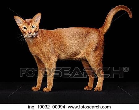 Portrait of beautiful young abyssinian cat  Close up of red cat  Isolated  on black background Picture