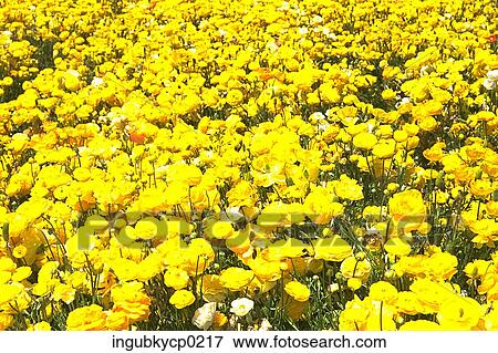 Fiori Gialli Prato.High Angle View Of A Meadow Of Yellow Flowers Stock Photo