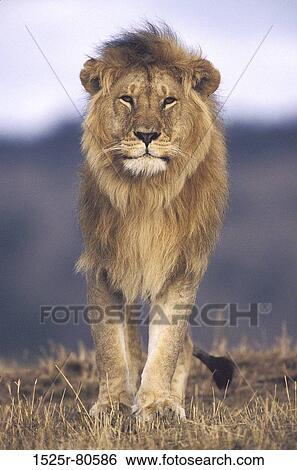 stock images of close up of a lion walking in a field panthera leo