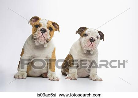 Two English Bulldog Puppies Sitting