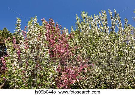 Stock Foto - weiß, und, rosa, blühen, malus, \'maypole\', -, apfel ...