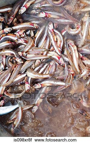 Stock photography of anchovies for sale at morning fish for Mural fish in tamil