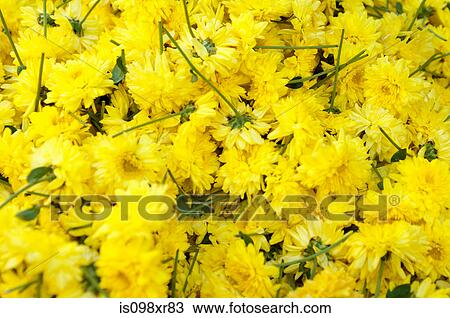 Stock photo of yellow flowers for sale in market mysore india yellow flowers for sale in market mysore india mightylinksfo
