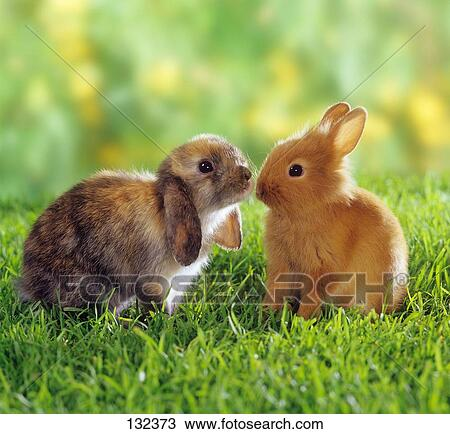 stock photo of lop eared dwarf rabbit and dwarf rabbit on meadow 132373 search stock images. Black Bedroom Furniture Sets. Home Design Ideas