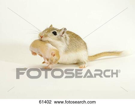 Stock Photo of gerbil with cub in mouth 61402 - Search Stock ...