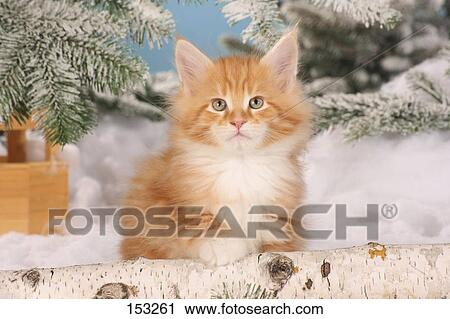 Maine Coon cat - sitting in front of fir branches