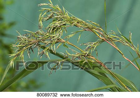 Stock Photo Of Deu 2009 Lemon Grass Citronella Grass Cymbopogon Citratus Andropogon