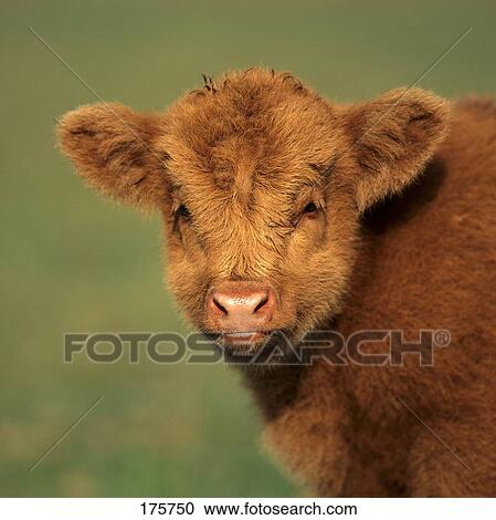 Stock photography of luing cattle portrait of a calf 175750 luing cattle portrait of a calf publicscrutiny Images