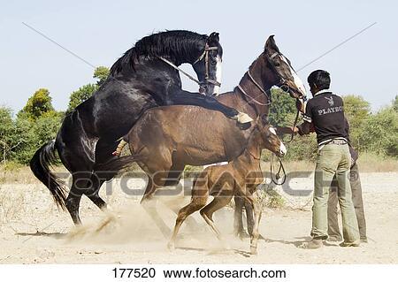 Stockbilder - Marwari, häst, parning 177520 - Sök Stock ...